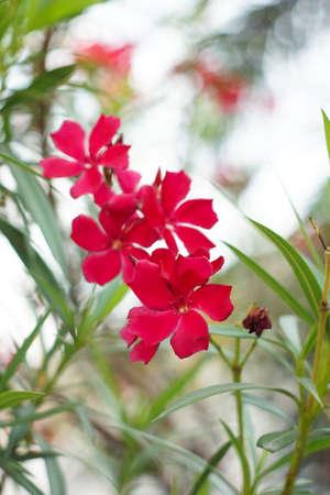 oleander: Nerium oleander L.