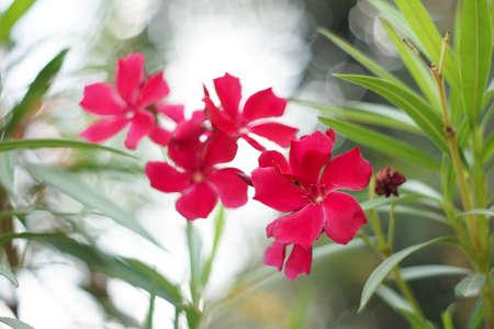 nerium: Nerium oleander L.