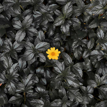 A yellow Little daisy flower on dark leaves background - Square shaped - Conceptual picture Stock fotó