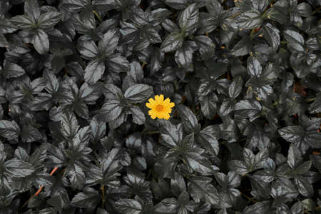 A yellow Little daisy flower on dark leaves background - Conceptual picture