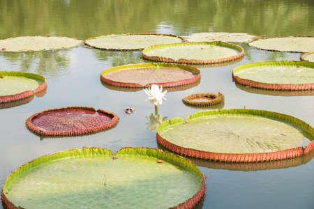 Victoria Water Lily in pond Stok Fotoğraf