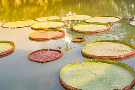 Victoria Water Lily in pond with shining warm lights Stok Fotoğraf