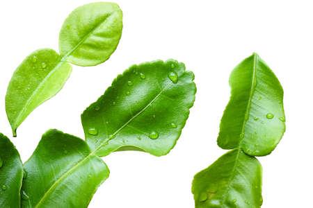Bergamot leaves isolated on white background