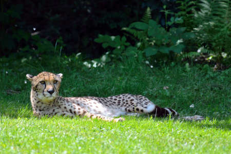 Lazy Cheetah laying down on the grass