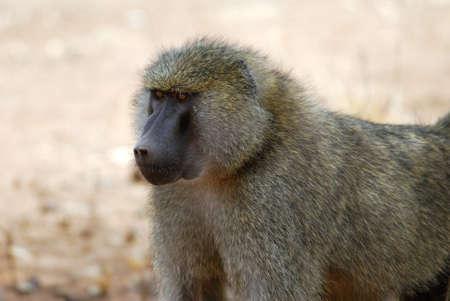 Baboon portrait, Tarangire National Park, Tanzania