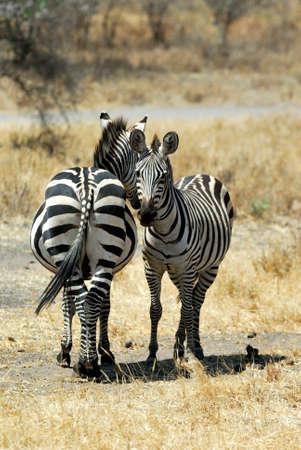 Couple of zebras, Tarangire National Park, Tanzania Stock Photo