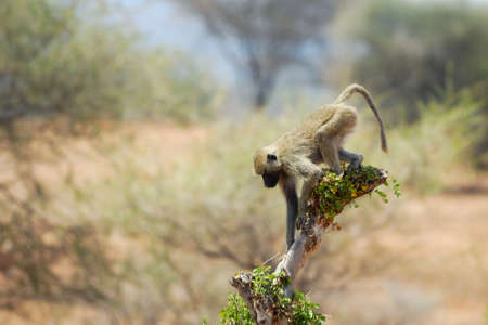 Single baboon on a branch, Tarangire National Park, Tanzania