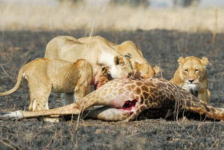 Lions eating a prey, Serengeti National Park, Tanzania Stock Photo