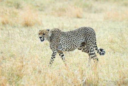 Cheetah in the savannah, Serengeti National Park, Tanzania Stock Photo