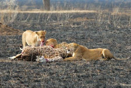 Lions eating a prey, Serengeti National Park, Tanzania Фото со стока