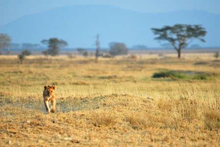 사바나, 탄자니아의 세렝게티 국립 공원에있는 라이온스
