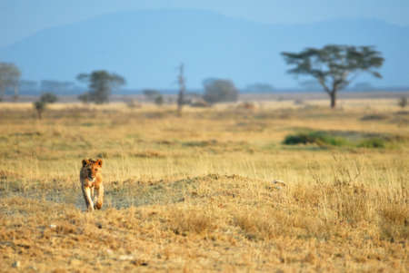 Lions in the savannah, Serengeti National Park, Tanzania