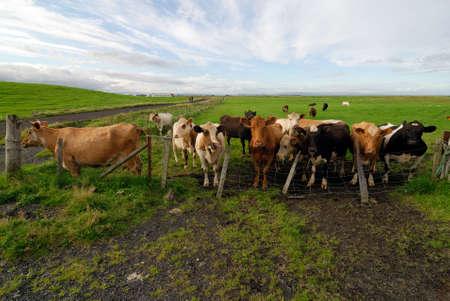 Icelandic cows, Iceland