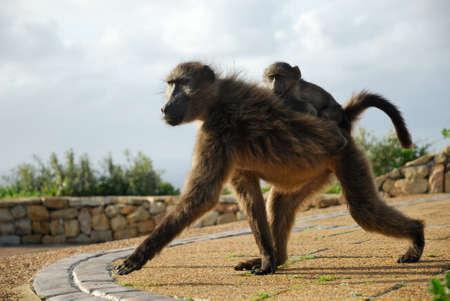 케이프 반도, 남아 프리 카 공화국에서 개 코 원숭이 커플 스톡 콘텐츠