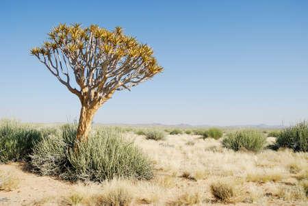 Isolated tree in the Kalahari desert, Namibia Editorial