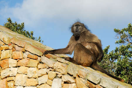 Single Baboon at Cape Peninsula, South Africa