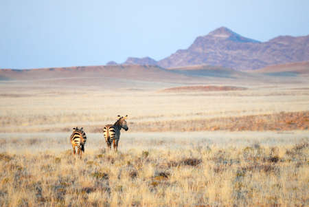 Two zebras in the savannah, Namibia Stock Photo