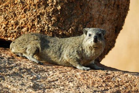 Rock Hyrax at Spitzkoppe, Namibia