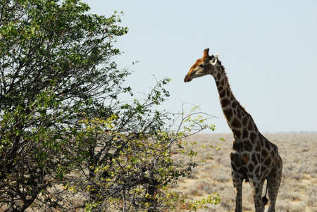 Giraffe in the savannah.