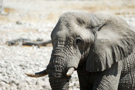 Elephant in the Etosha.