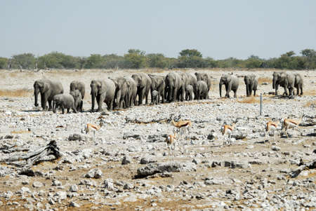 Many Elephants in the Etosha.