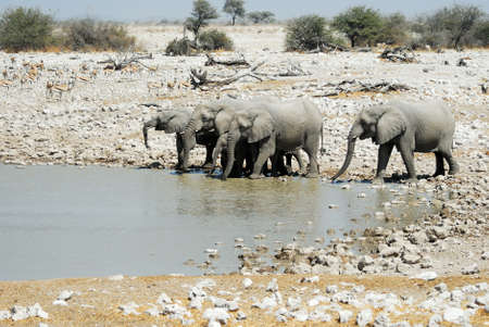 Drinking elephants in the Etosha.