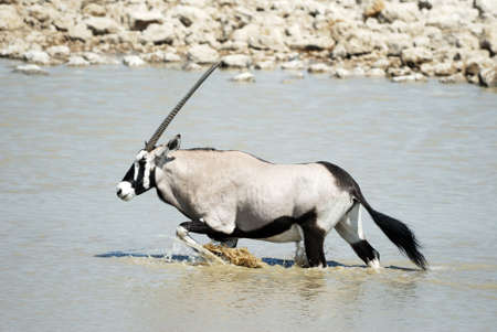 Oryx in the Etosha.