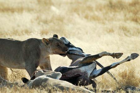 Lions eating a prey, Etosha.