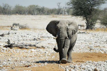 Elephant in the Etosha.