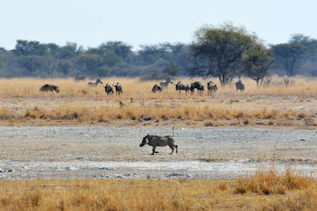 Warthog, wildebeests and zebras, Khama Rhino Sanctuary, Botswana