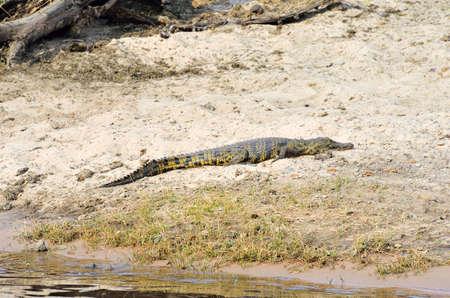 Crocodile in Chobe National Park, Botswana