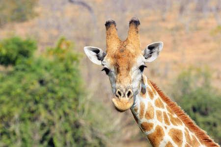 Giraffe in  Park, Botswana Stock Photo