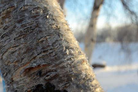 Frozen birch tree close-up in Lapland