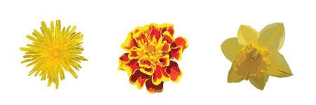 cempasuchil: Amarillo y naranja flores diente de le�n, cal�ndula, Narciso.