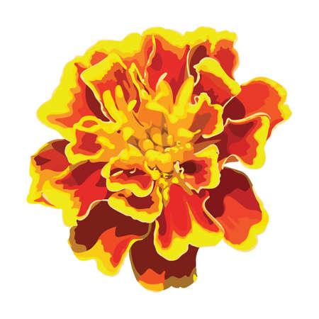 marigold: Marigold flower. Vector isolated image