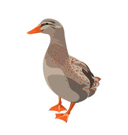 color image mallard duck: duck.