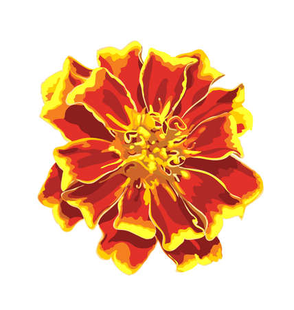 Marigold flower. Isolated images