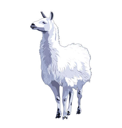 Lama, llama. Vector color image