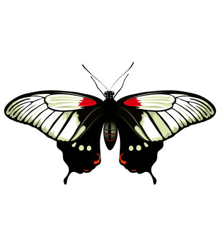 papilio: vector color butterfly. Papilio lowi