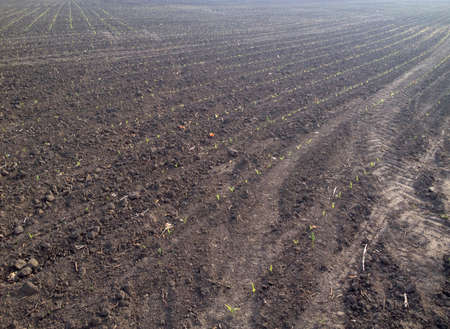 seedlings: ploughed land whith seedlings. background Stock Photo