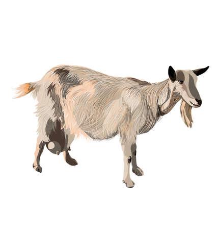 capra: Goat. Capra hircus. Color realistic animal