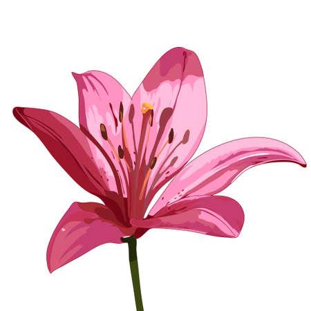 Rosa Lilie Vektor isoliert Bild Standard-Bild - 66990038