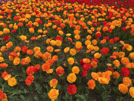 tulip flower bed. colorful yellow, orange and red tulips. floral background
