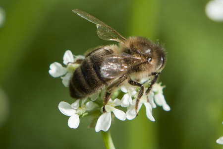 beautiful bee sitting on a white flower. green background Stock Photo - 15597065