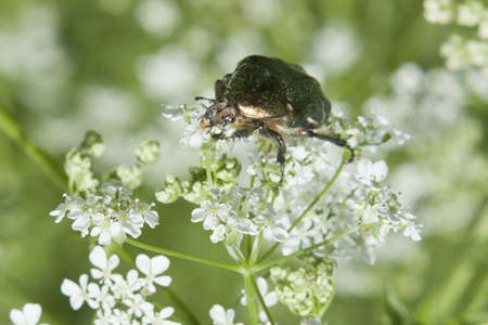 green bug sitting on a white flower. green background Stock Photo - 15597077