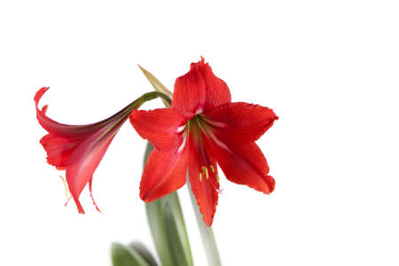 Flower composition. Beautiful red flower on a white background