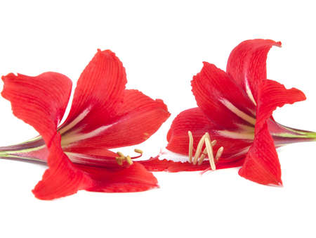 Flower composition  Beautiful red flower on a white background 版權商用圖片
