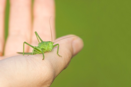 Grasshopper on a hand on the green background photo