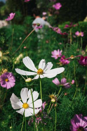 white daisies: White Daisies Stock Photo