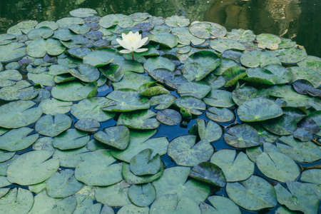 lily pads: Lily pads in a pond
